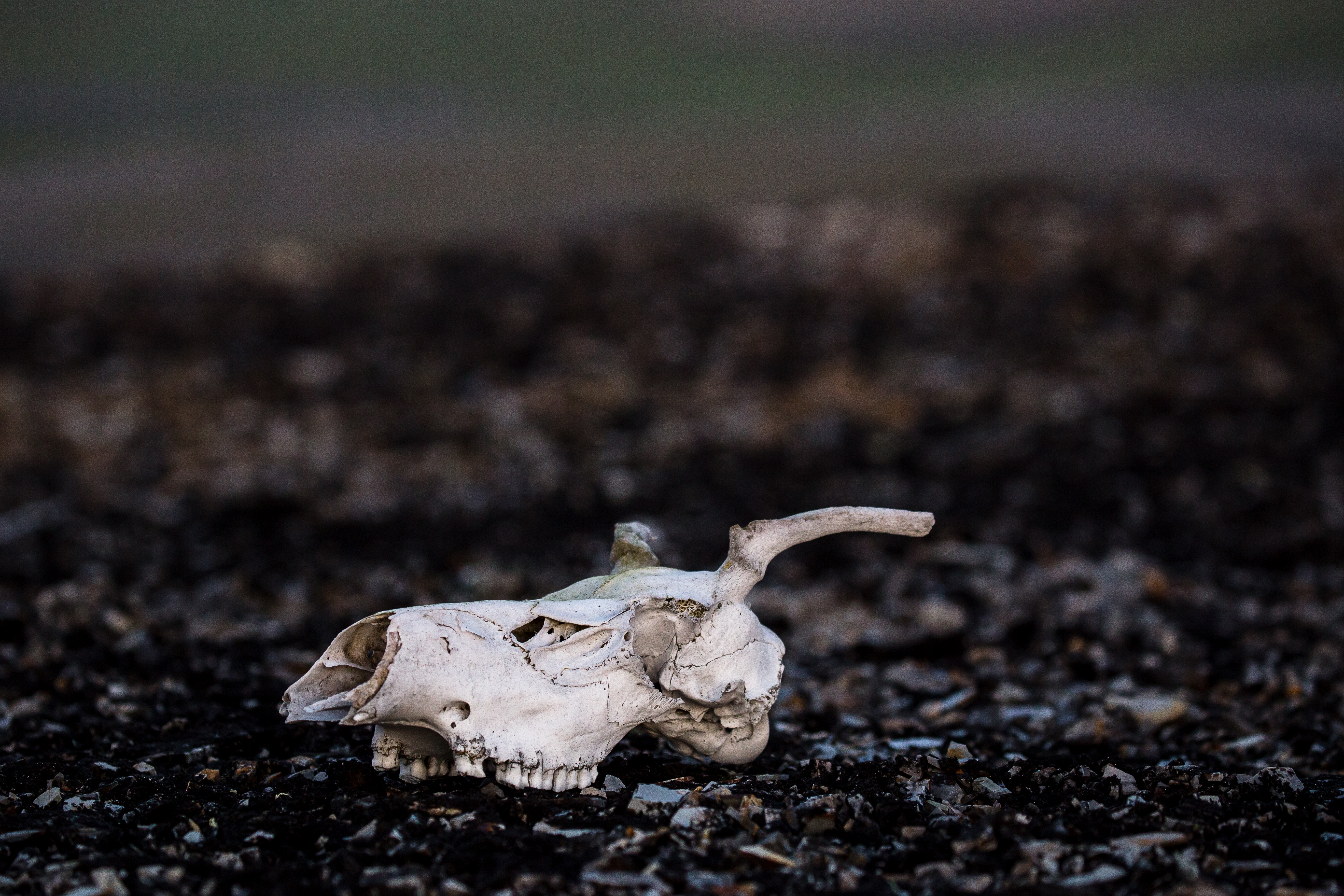 A caribou skull lies on the ground in the Yukon's Blow River Valley.